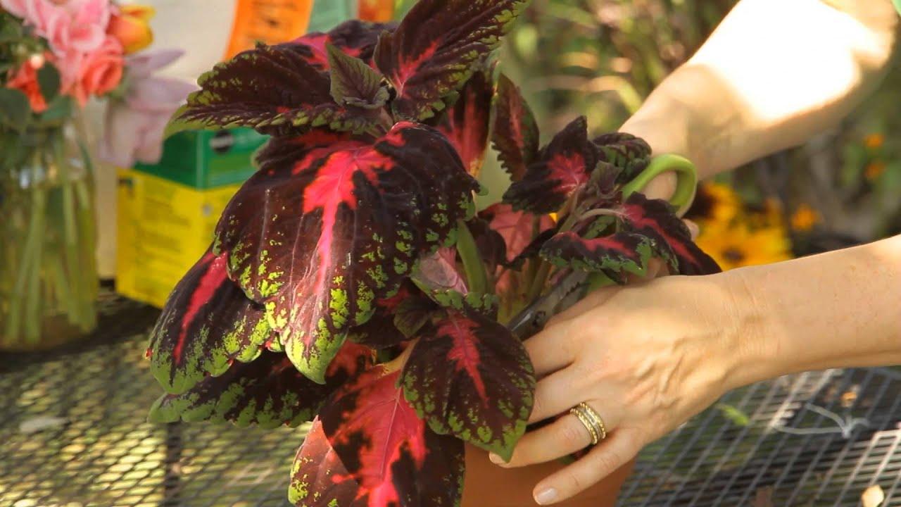 How To Trim Coleus : Garden Space   YouTube