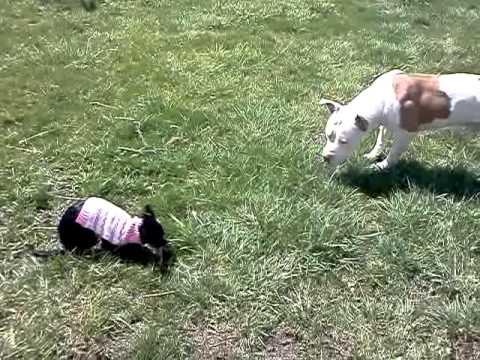KILLER PITBULL!! vs Chihuahua