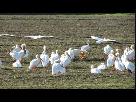 Pelican Squadron in Yuba County