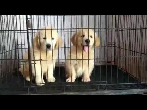 Dog Breeding : Show Quality Golden Retriever Puppies Available For Sale