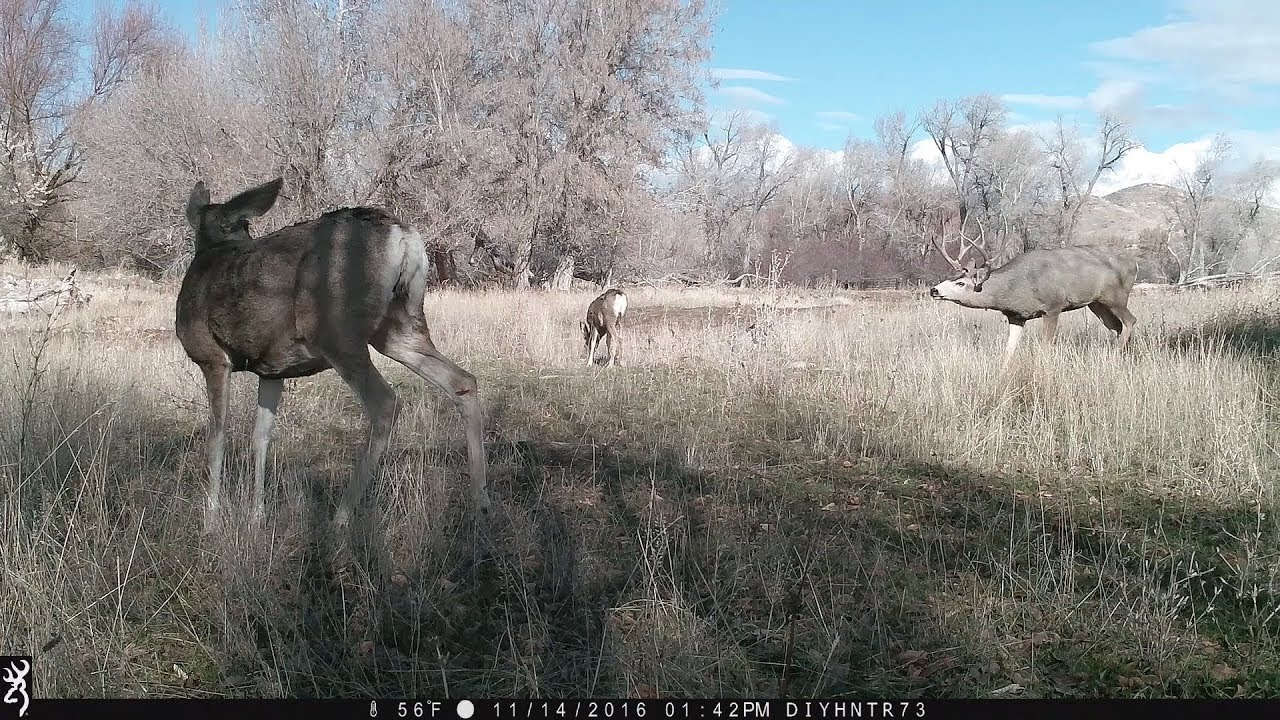 Grunt Master Mule Deer