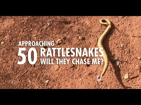 Approaching 50 Wild Rattlesnakes to See