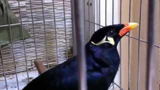 Nhồng nói chuyện siêu đẳng (Mynah Bird) 7