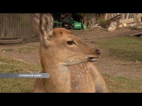 Настоящий Бэмби: в Балтском районе нашли олененка