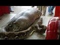 Pitone di 7 metri ingoia un contadino di 25 anni