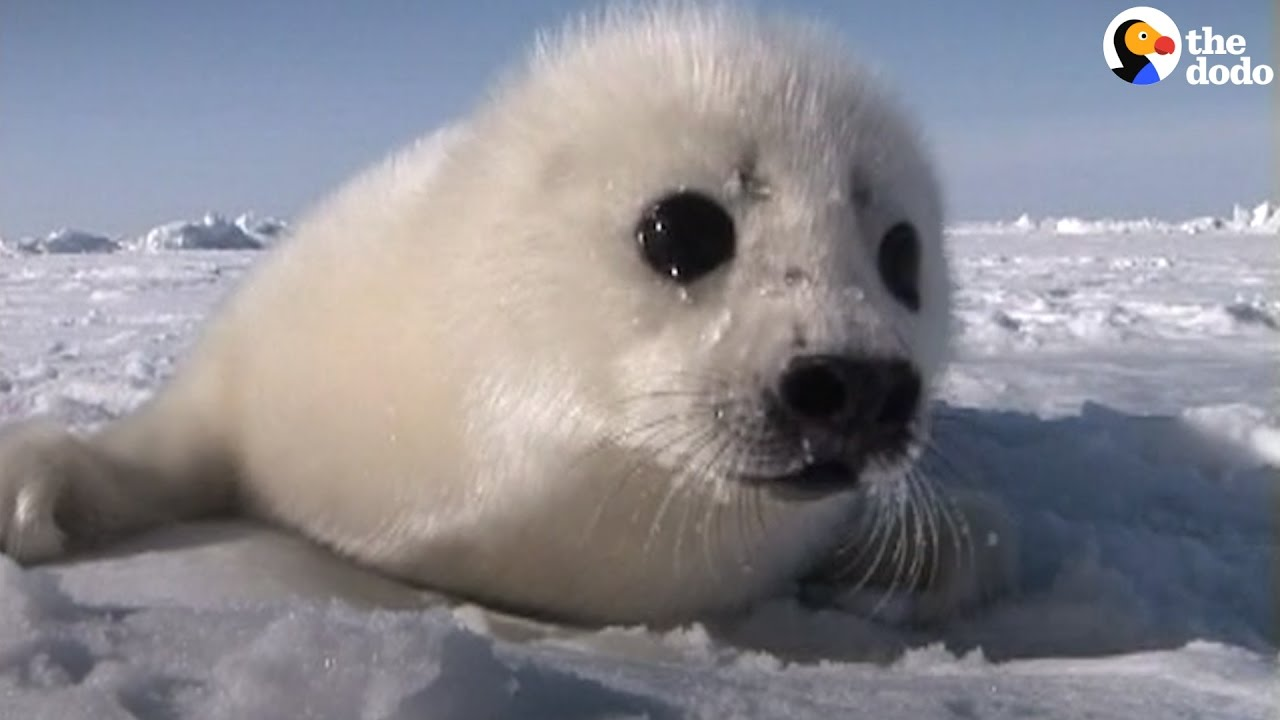 Canada's Seal Hunt: Five Myths That Simply Aren't True | The Dodo