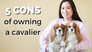 WHY YOU WOULDN'T WANT A CAVALIER KING CHARLES SPANIEL