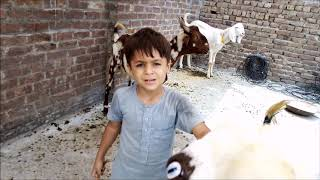 Child playing with goats Funny and Cute Goat Video - Goats Vlogs -Best goat compilation EVER!