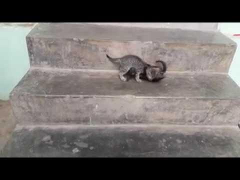 wwe  interference betn black cat vs brown cat