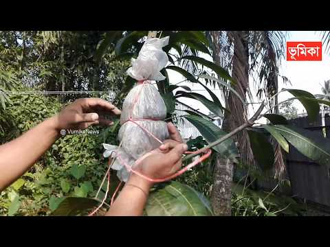 New grafting on mango bonsai tree | How to making bonsai mango trees