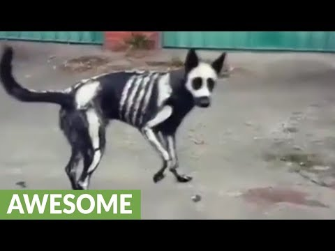 Skeleton dog shows off awesome Halloween costume