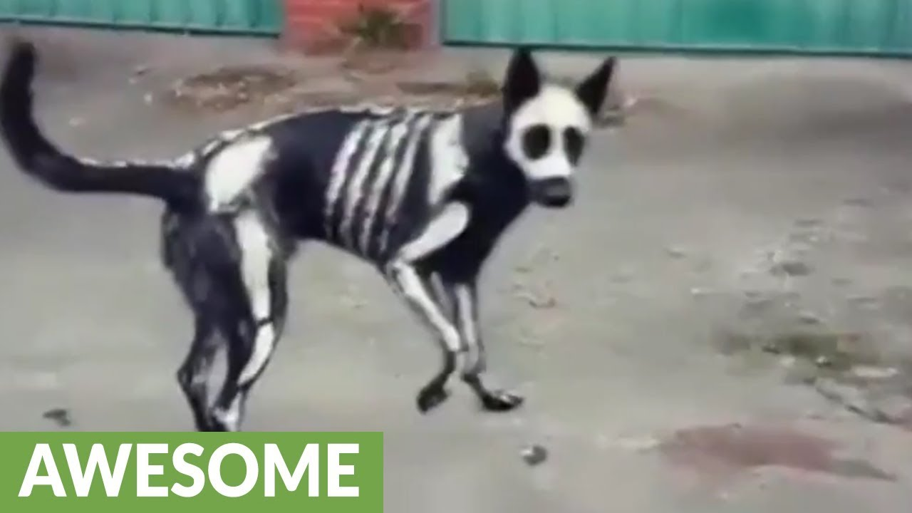 Skeleton Dog Shows Off Awesome Halloween Costume Youtube