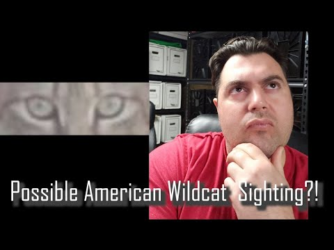 Possible American Wildcat Sighting?!