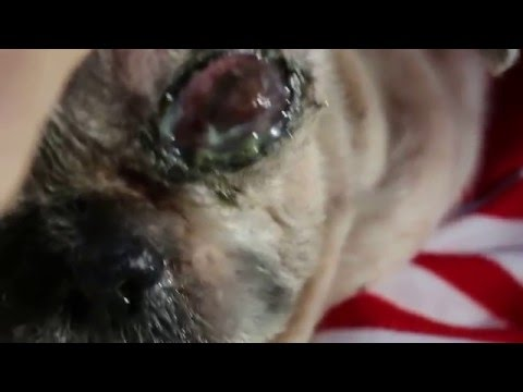EYE INFECTIONS 2/5 The 16-year-old Shih Tzu has a badly infected left eye Pt 2