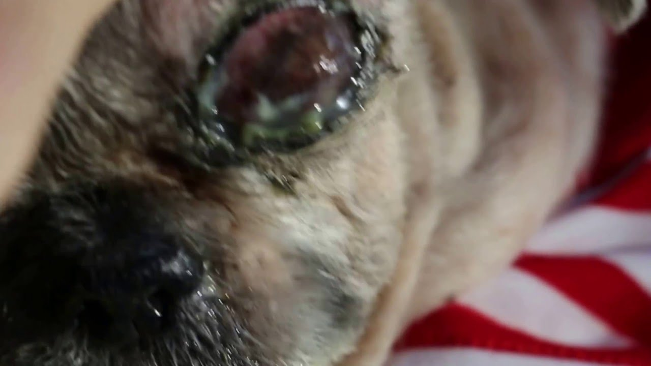 Dog Has Mucus Coming Out Of Eye