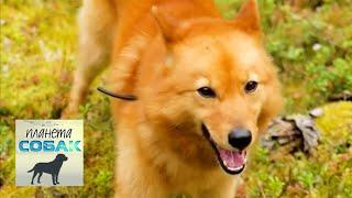 Финский шпиц. Планета собак 🌏 Моя Планета