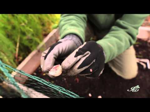 Planting Garlic in Late Fall - How to Prepare & Plant Garlic in Your Garden