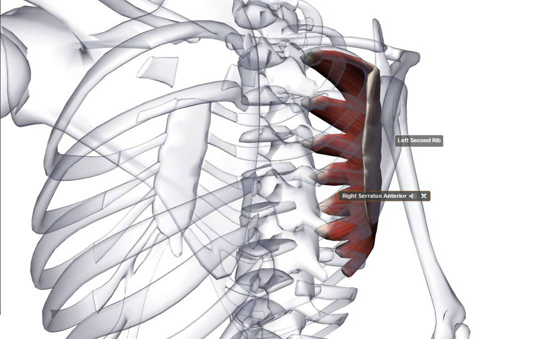 Serratus Anterior - YouTube