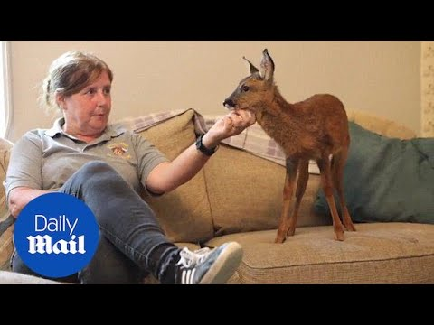Orphaned Baby Deer Being Brought Up In Family's Living Room - Daily Mail