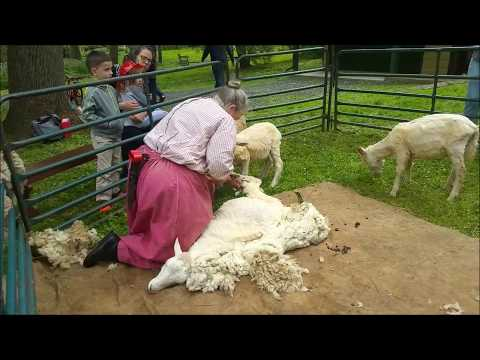 Bonus: Traditional Sheep Shearing Demonstration