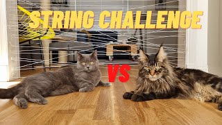 STRING CHALLENGE: BRITISH SHORTHAIR VS MAINE COON