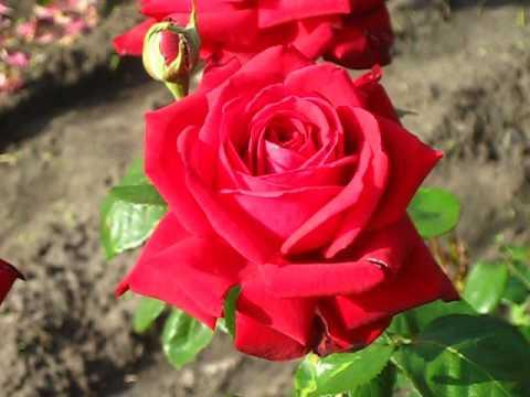 Роза Бургунд. ( Burgund 81)