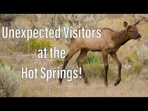 Hot Springs - Wyoming | Wildlife inbound at Yellowstone!