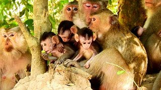 So Fantastic! All Famous Newborn Baby Monkey Meeting Up Together, Very Awesome