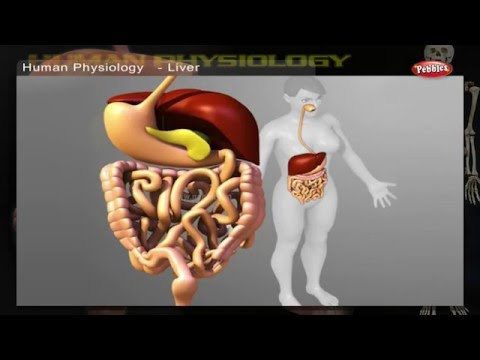 Digestive System | How Human Body Works | Human Body Parts and Functions | Human Anatomy 3d