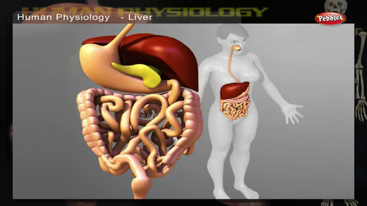 Digestive System How Human Body Works Human Body Parts And