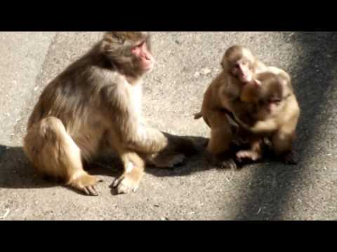 Mom Is Very Busy. The Japanese Monkey Mom And Kids.お母さんは大忙し。ニホンザル母子。