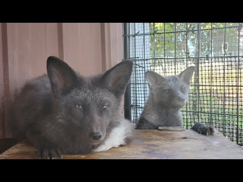 Foxes Ava and Quintin both take treats from hands now!