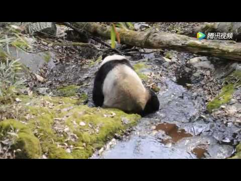 A Wild Panda taking a bath