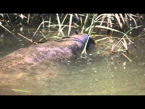 Manatee spotted swimming in Delaware