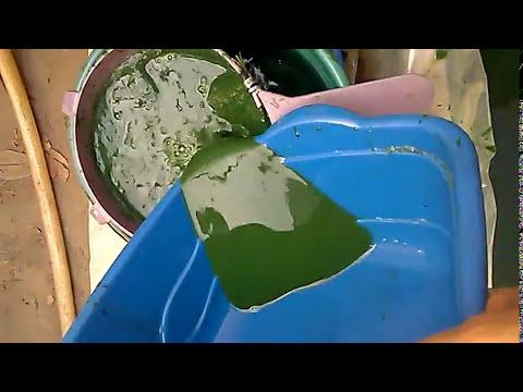 spirulina harvest