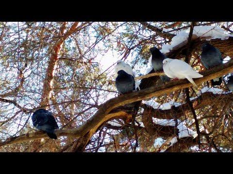 Голуби сидят на деревьях в городском парке Челябинска.