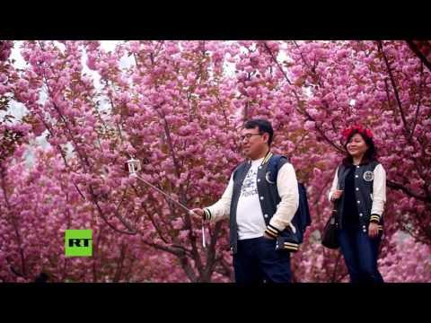 China Se Viste De Rosa: Comienza El Festival De Los Cerezos En Flor