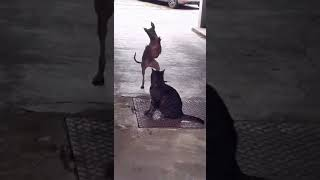 Dog dancing  in front of cat #shorts