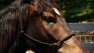 America's Wild Mustang-Untamed Legacy PBS Documentary(This Emmy-award winning documentary chronicles the journey of a mustang named Charlie and the people whose lives he touches along the way. Produced ..., 2014-11-16T13:56:22.000Z)