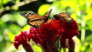 Como las Mariposas