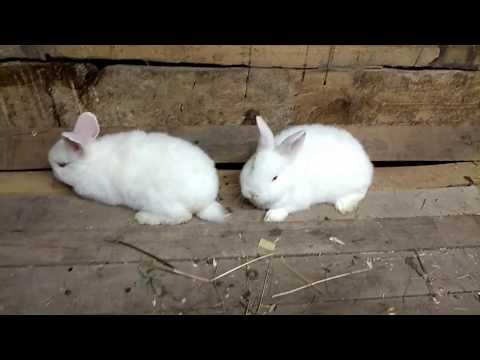 Как отличить крольчиху от кролика видео