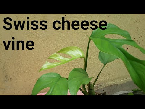 How to grow & care Swiss cheese vine /Monstera Pitterii// Indoor plant