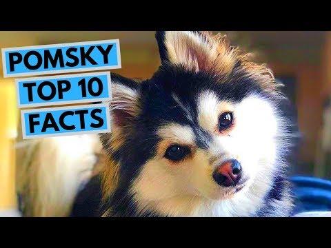 Pomsky - TOP 10 Interesting Facts