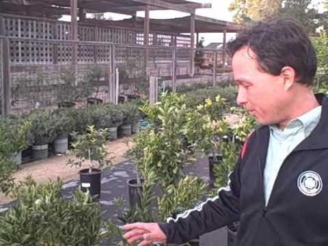 Heirloom Vegetable Starts, Edible Abutilon Flowers U0026 More At Cottage Gardens  Nursery Petaluma
