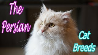 CAT BREEDS (The Persian) Identify Top 10 Longest Living Cats & Kittens info