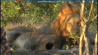 Lwy odpoczywające  - dziki świat zwierząt Afryki ,,Safrari