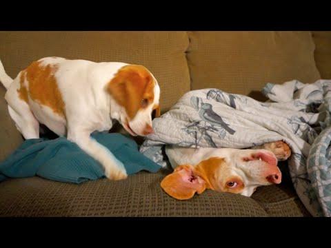 Dog's Sister Won't Let Him Sleep: Cute Dogs Maymo & Penny