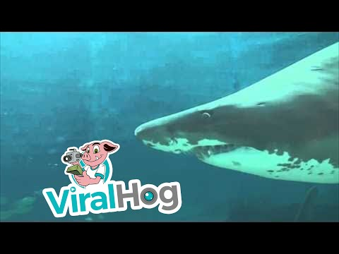 WARNING - GRAPHIC: Shark Attack Caught On Video