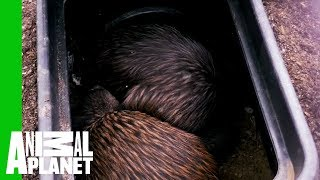 These Kiwi Lovebirds Prove That Soulmates Are Real | The Zoo thumbnail