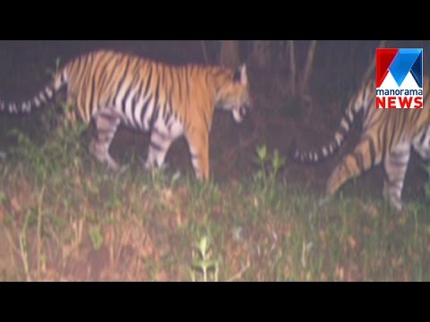 New tigers found in the Periyar tiger sanctuary | Manorama News